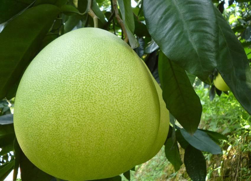Citrus fiber