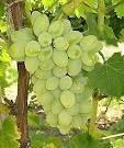 Fresh Grapes ( white seedless )