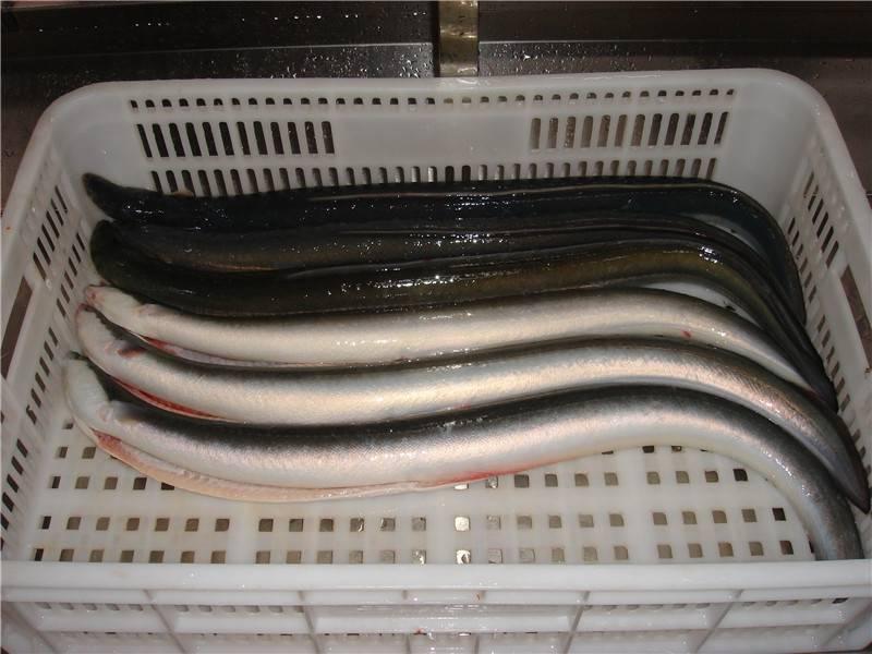 Frozen Eel Fish conger eel