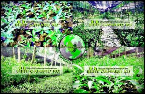 Bibit Gaharu / Agarwood Seed