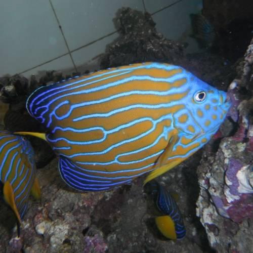 Live Fish - Blue Line Angle Fish