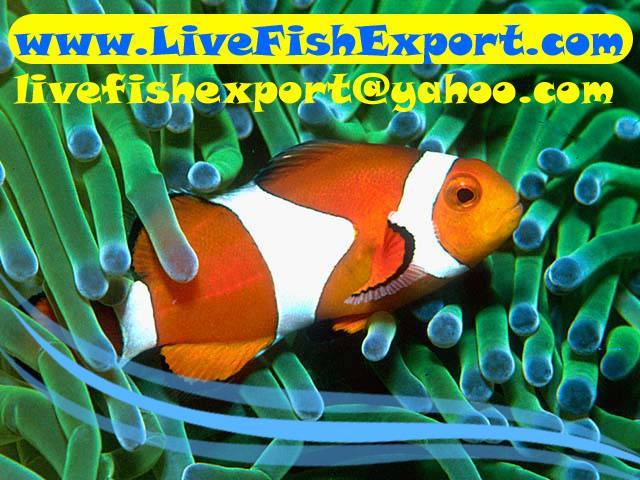 Live Fish Export - Marine and Fresh Water Fishes, Invertebrates, Corals Exporter