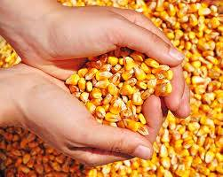 Yelow corn Seller