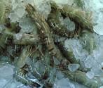 Fresh/Chilled (HOSO) Black Tiger Shrimp