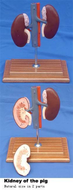 VM033: Kidney of the pig