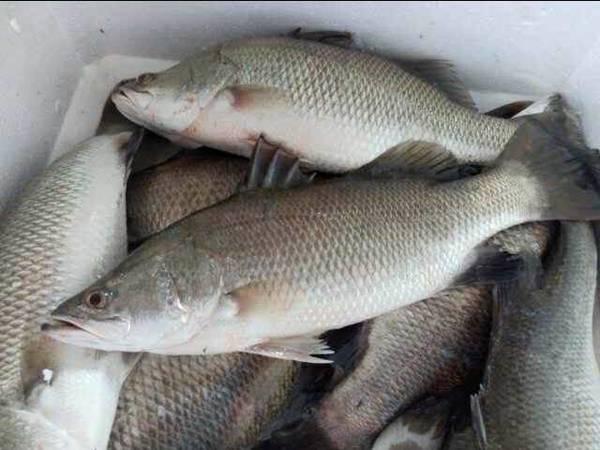 frozen barramundi fish