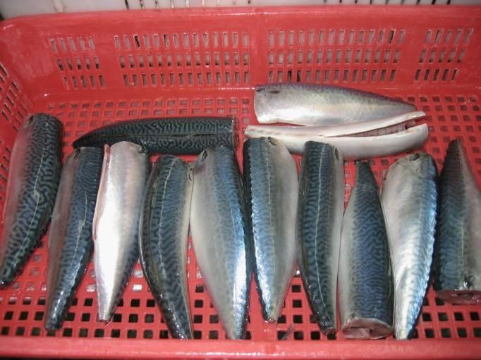 mackerel HGT