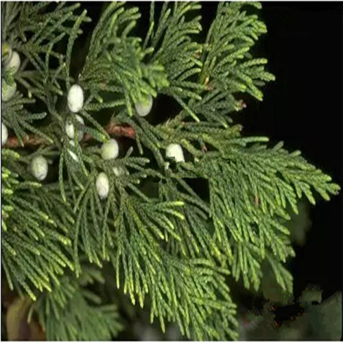 Pure Cedarwood Essential Oil