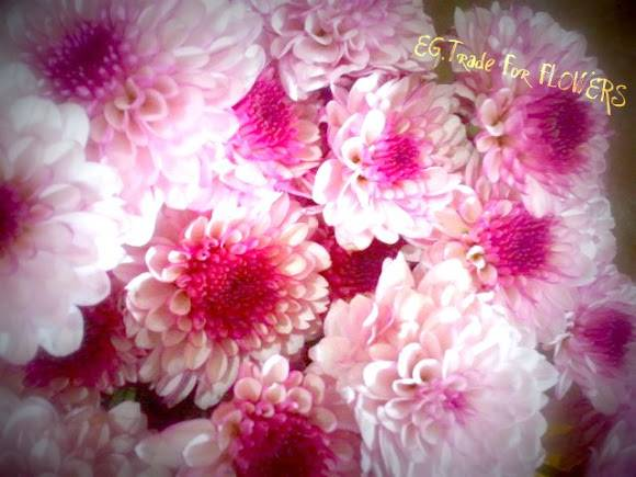 Chrysanthemum with high quality and competitive prices for export
