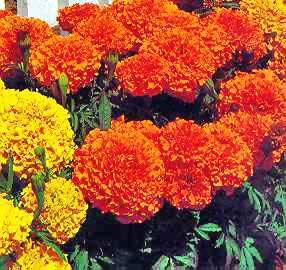 Sell Marigold extract (lutein)