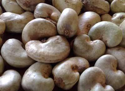 Raw Cashew Nut In shell for sale