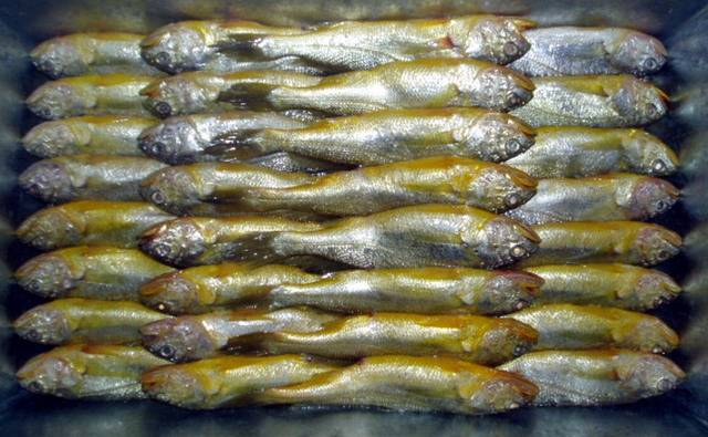 supply good quality of frozen corvina or yellow croaker