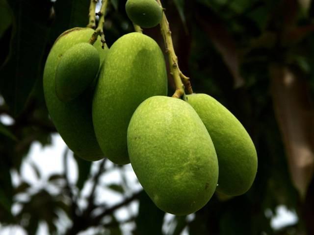 Wild Africa Mango extract