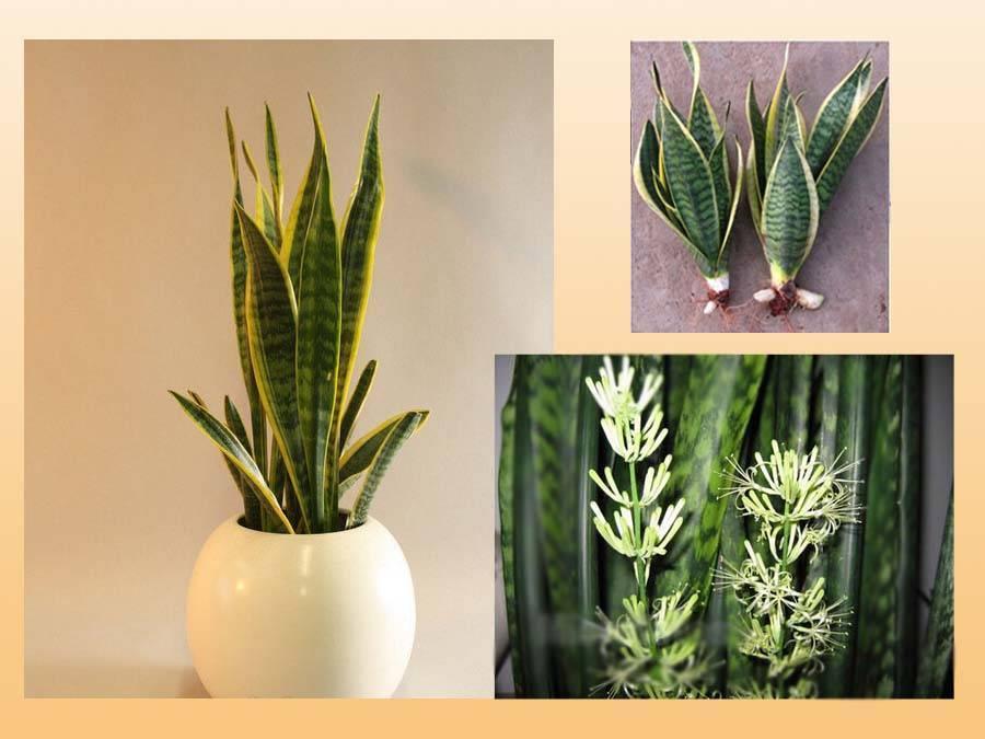 Sell Sansevieria trifasciata (Indoor plant)