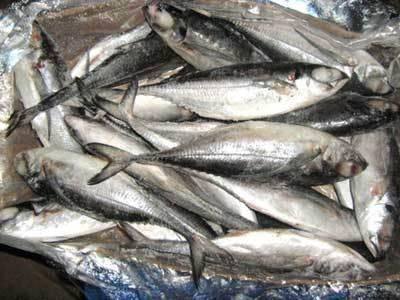 Frozen Horse Mackerel Fish For Sale