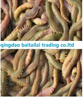 Sell fresh live lugworm/worm bait