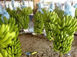 Delo Monte Grade A Bananas