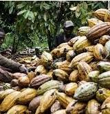 COCOA BEANS GRADE 1 and 2 Cameroon Origin 67MT Per Month