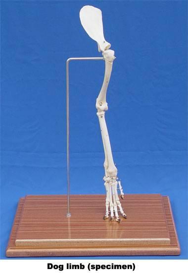 VM014: dog limb(specimen)