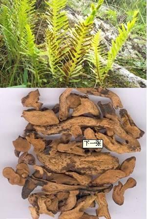 Rhizoma Drynariae Extract