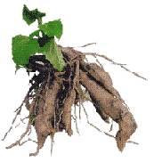 YACON - Smallanthus sonchifolius, Natural ingredients