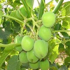 Buy Jatropha tree seeds / Jatropha propagation seeds