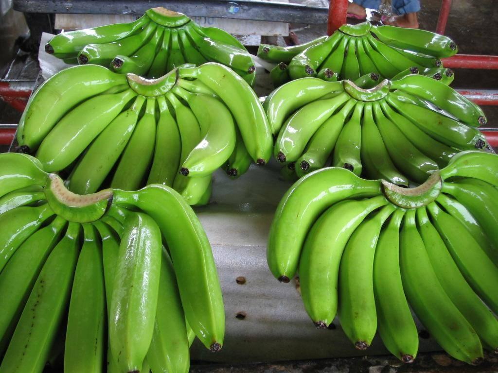 Cavendish AAA premium bananas