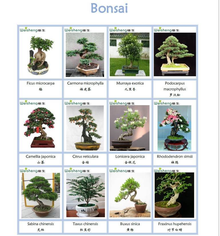 Sell all kinds of Bonsai