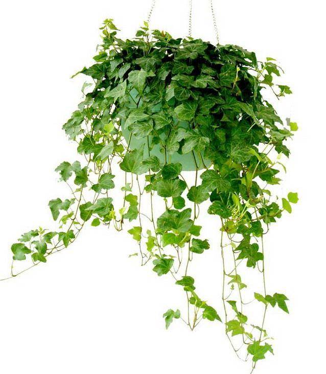 Chinese Ivy Stem Extract