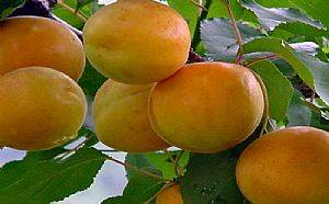 Apricot concentrated juice