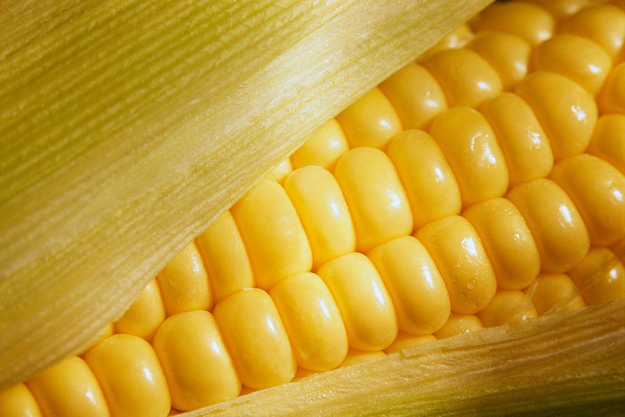 Yellow corn (Ukrainian)