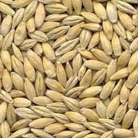 Quality Ukraine barley