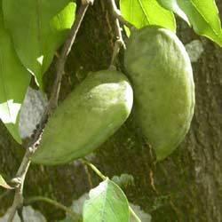 Pongamia Pinnata Seeds for Sale