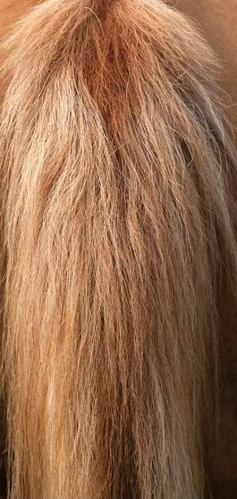 supply top quality horse tail hair for brush making