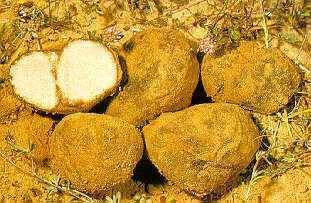 fresh winter Truffle (Competitive Price)from North of Africa