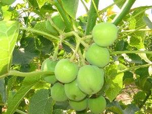 Jatropha seeds for Export