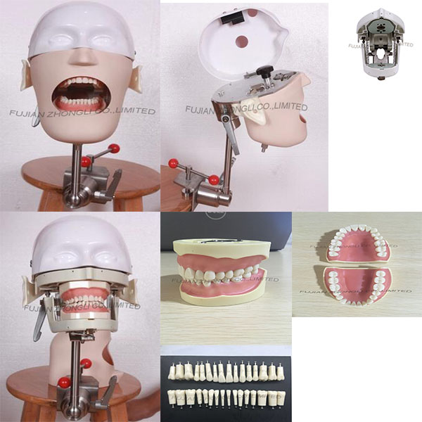Dental Typodont Phantom Head Simulator Manikin Phantom Bench Mount