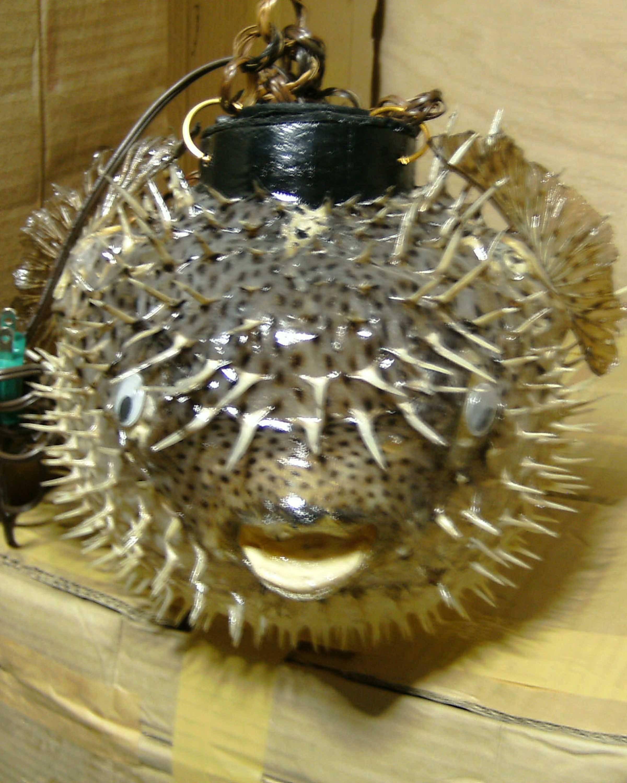 LAMPSHADE PORCUFINE FISH 21'