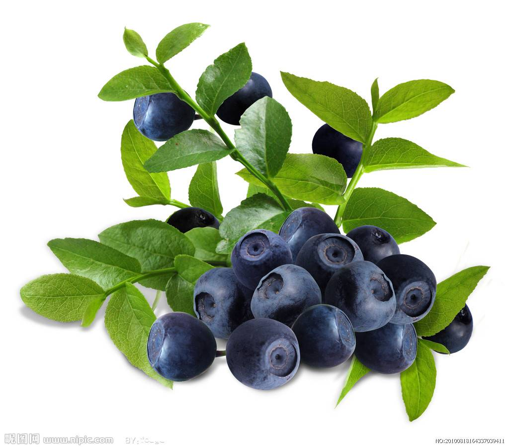 Bilberry Extract For Protecting Eyesight