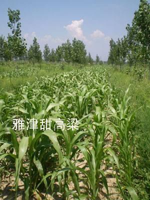 Biomass Energy Sweet Sorghum