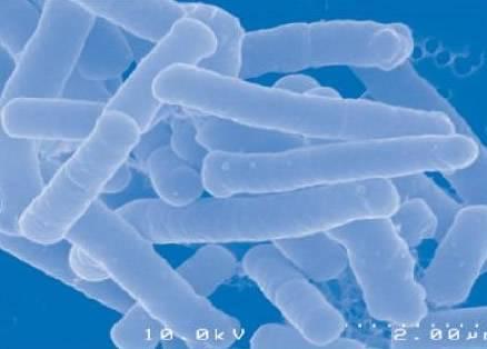 Lactobacillus Acidophilus, probiotic, Lactobacillus, Acidophilus