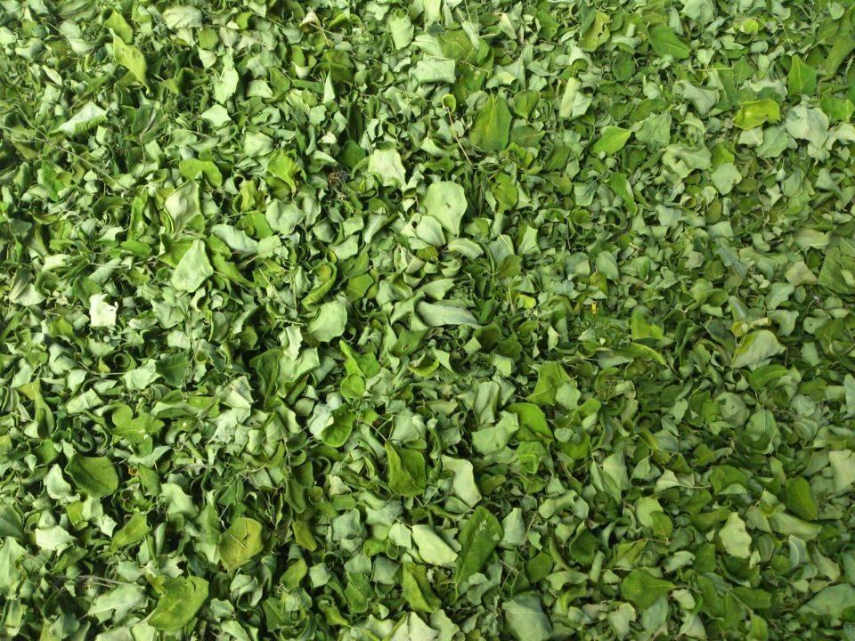 Organic Moringa Dry Leaves Exporters