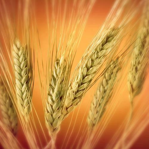 Wheat,Feed barley,Yellow Corn