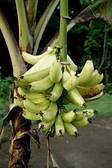 Plantain banana