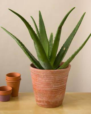 Buy Aloe Vera plant