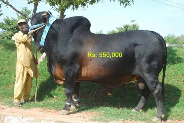 offer world famous live bull from Pakistan and delicious beef meat