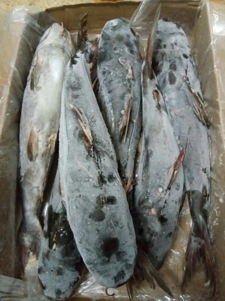 Frozen Cat Fish Round Mouth,Frozen pacific mackerel,frozen fish
