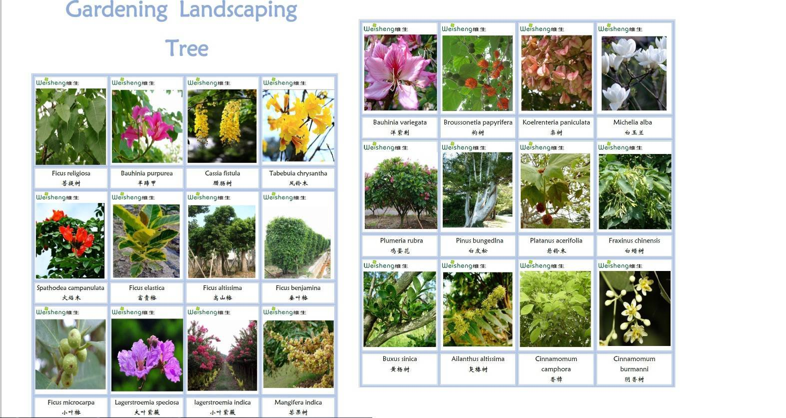 Sell all kinds of gardening landscaping tree