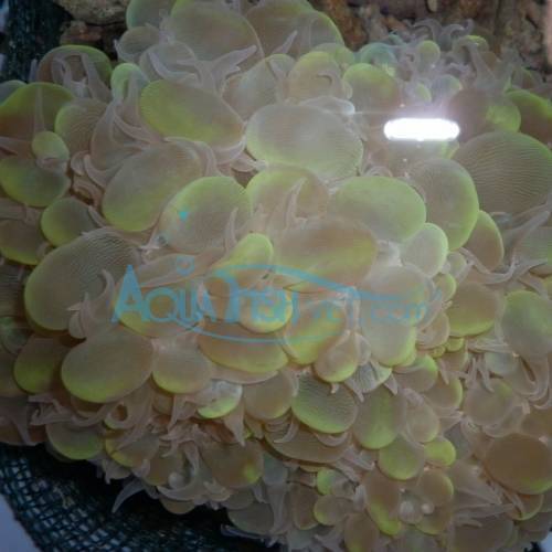 LPS Hard Coral - Buuble Coral