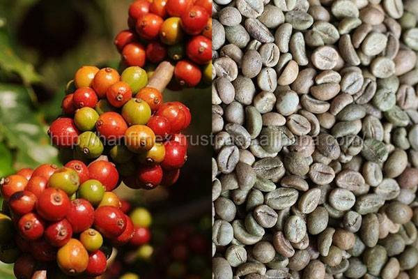 VIETNAM WHOLE SALE ROBUSTA COFFEE BEANS